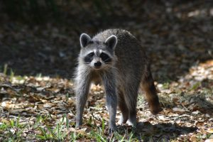 How Raccoons Get In Apartment Complexes