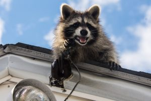 What to Know About Rabid Raccoons