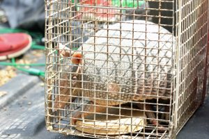 How to Trap Florida Armadillos