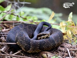 Are Water Moccasins Dangerous?
