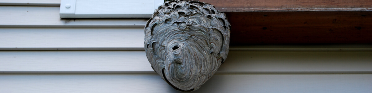 hornet nest outside Orlando home