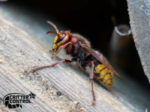 Hornet Removal Services