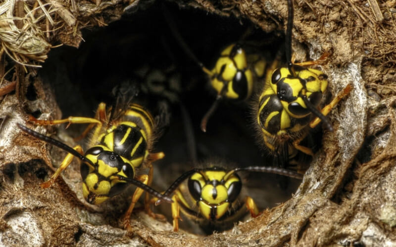 yellow jacket nest in orlando
