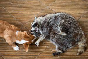 raccoon and a pet dog