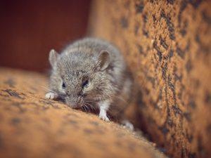 Groveland Rat Removal