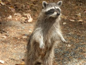 Raccoon Removal in Clermont