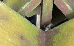 Rat Proofing Tips for a Pest-Free Winter