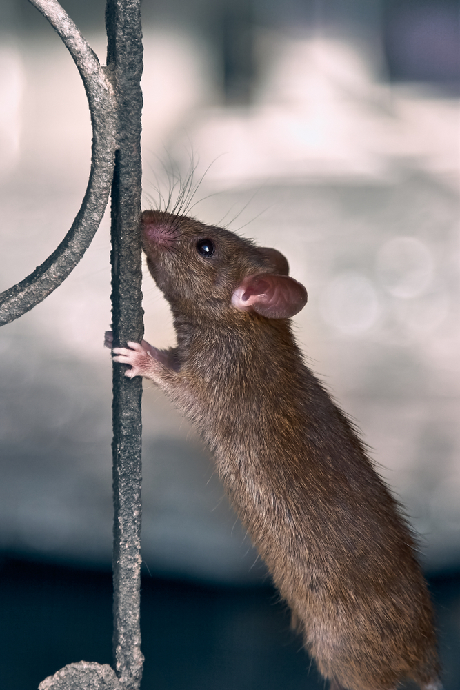 Rats in Mount Dora
