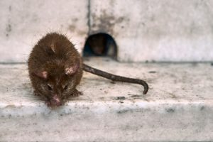 Clermont Rat Removal