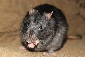 rats in attic orlando