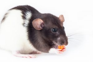 Why You Should Never Use Mothballs for Rats