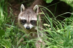 Ways to Keep Raccoons From Hibernating in Your Home
