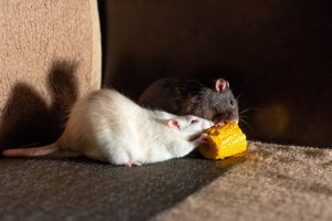 What Equipment Do I Need for Rat Removal?