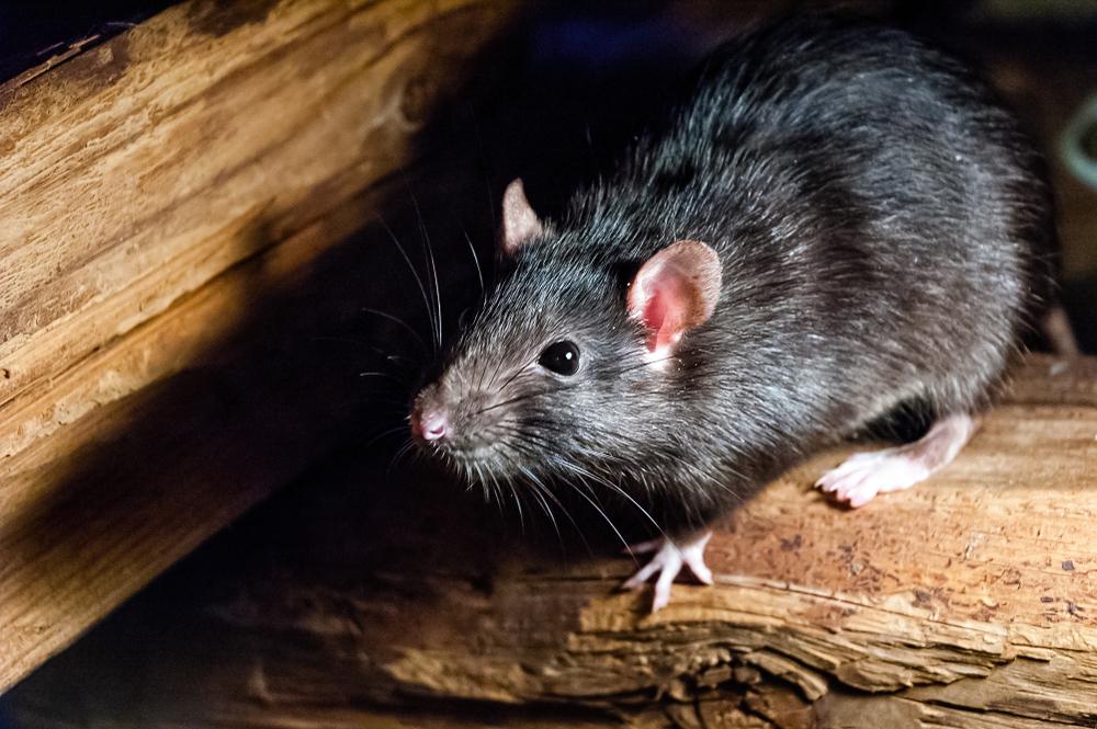 Rats Apartment