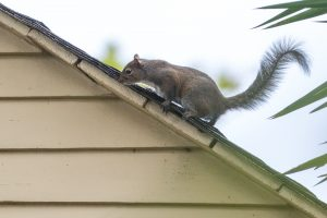 Restoring Your Attic After a Squirrel Infestation